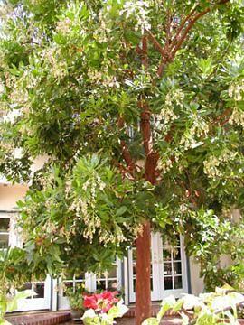 Strawberry Tree Arbutus Marina Trees For The