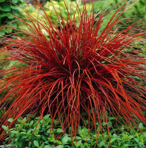 687 best ornamental grasses images on pinterest backyard ideas uncinia rubra firedance seed aka new zealand red hook sedge ornamental workwithnaturefo