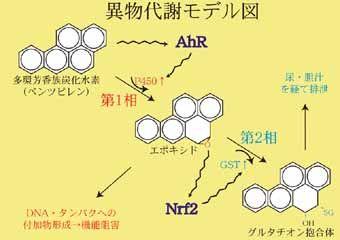 異物代謝を支える重要な転写因子AhRとNrf2の機能解析