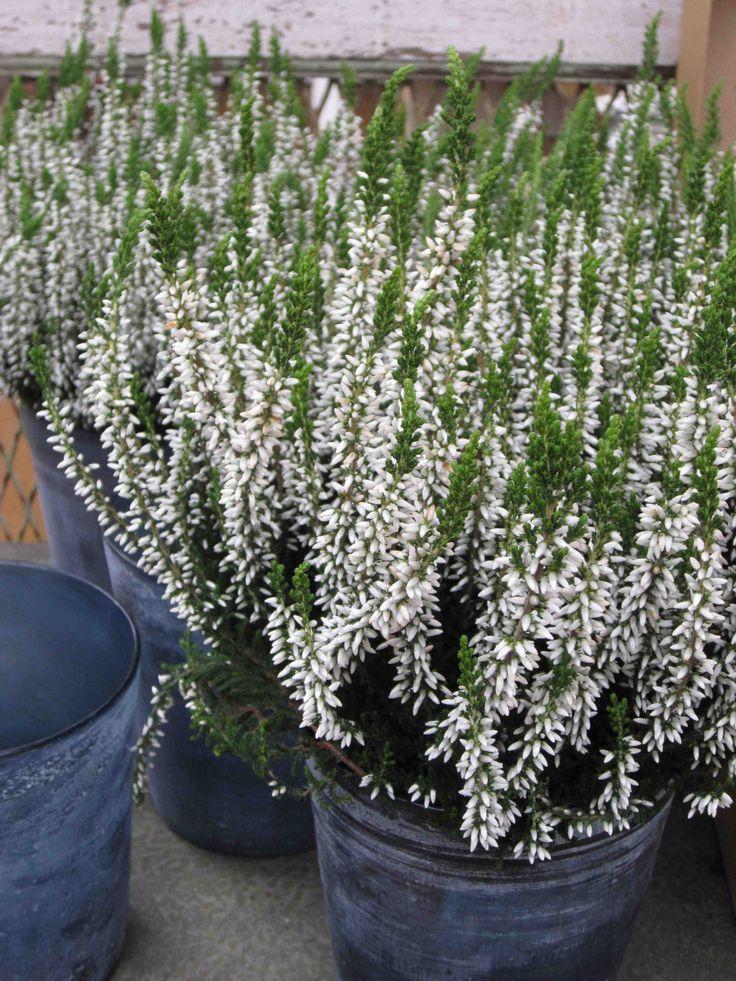 white heather in galvanized pails