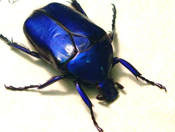 rare-purple-blue-sapphire-beetle-real-insects-2149_370347875442