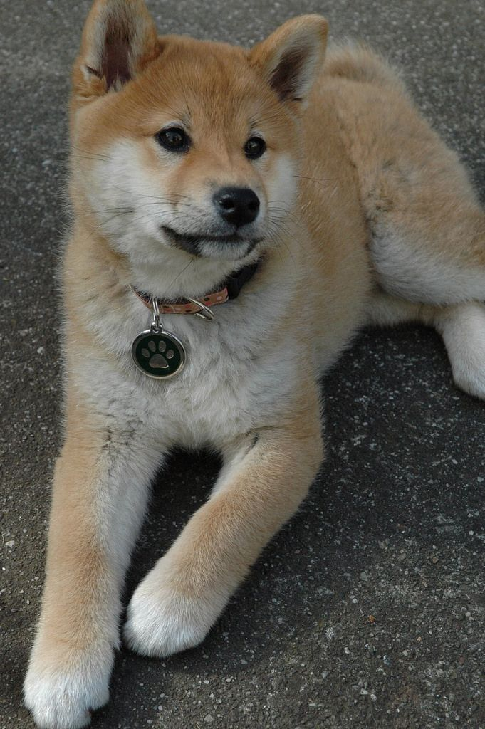 This is our dog, Suki! She's a Shiba Inu, a Japanese breed. Very photogenic.