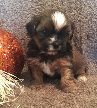 Shorkie Tzu puppy for sale in CLAY CITY, KY. ADN-43406 on PuppyFinder.com Gender: Male. Age: 4 Weeks Old