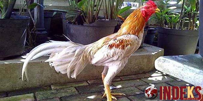 Cara ternak ayam bangkok bagi pemula. Ayam Bangkok menjadi salah satu jenis ayam yang cukup populer di Indonesia. Meskipun begitu
