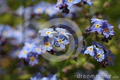 Forget me not in the hot sun