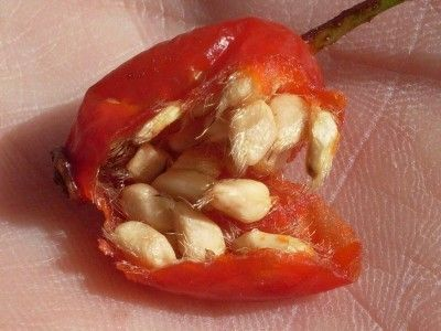 Collecting Rose Seeds: How To Get Rose Seeds From A Rose Bush - When we know how to get seeds from a rose, we can then grow it and enjoy the delightful surprise that Mother Nature has created for us. Read this article to learn how to get seeds from roses.