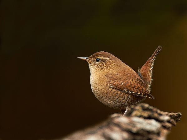 Did you know that the highest number of wrens recorded roosting in one nestbox is a whopping 61! #homesfornature