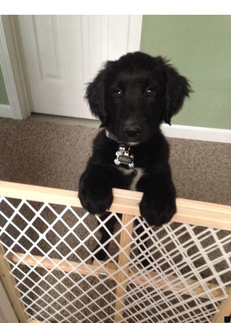 Pin By Halievictoria On P U P P I E S In 2020 Dogs Golden Retriever Golden Retriever Black Lab Mix Retriever