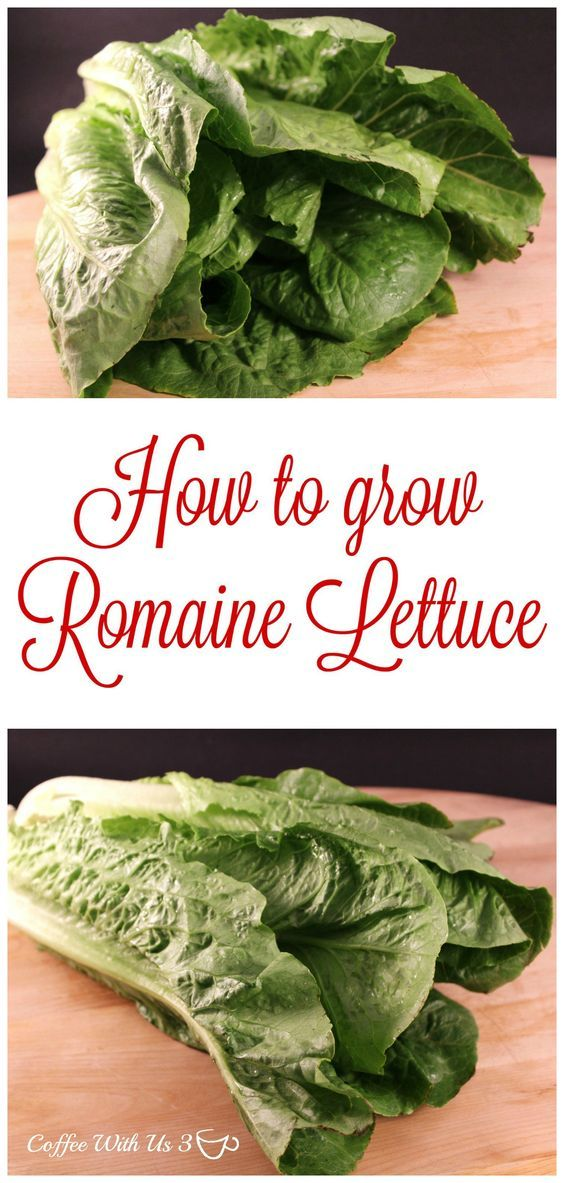 How to grow Romaine Lettuce from planting to harvesting.