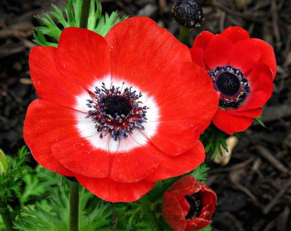 Anemone Flowers Bulb Anemone De Caen Hollandia Deer Resistant Hardy Perennial Anemone Bulb Flowers Hardy Perennials