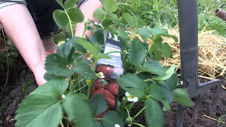 Tip fra gartneren: Så nemt høster du dine egne jordbær - TV 2