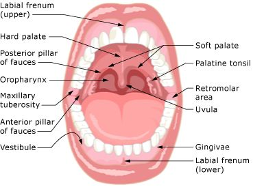 diagram lip mucosa oral cavity oral anatomy of the mouth | fp protesis dental ... #4
