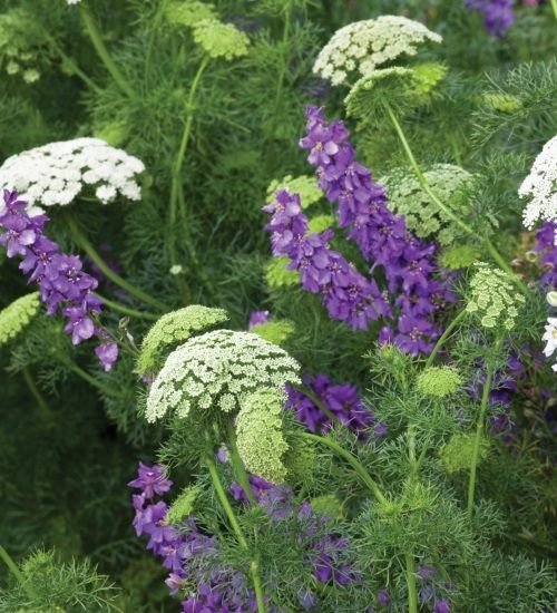 As Vita Sackville-West says, with a dome you need minarets with ammi, a vertical spire of something like larkspur. These complement each other brilliantly in terms of design.