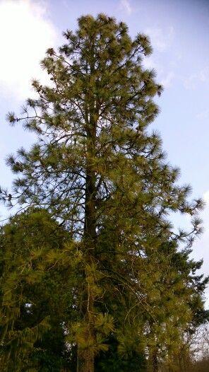 Pinus jeffreii