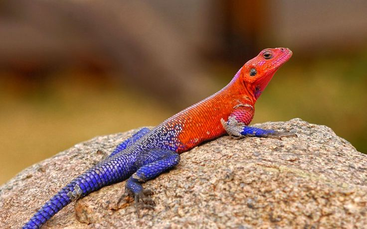 Reptilian Spiderman Agama