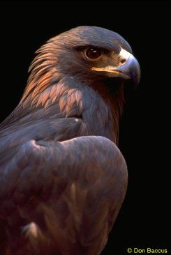 The Golden Eagle... The Golden Eagle is one of the best-known birds of prey in the Northern Hemisphere. It is the most widely distributed species of eagle. Like all eagles, it belongs to the family Accipitridae.