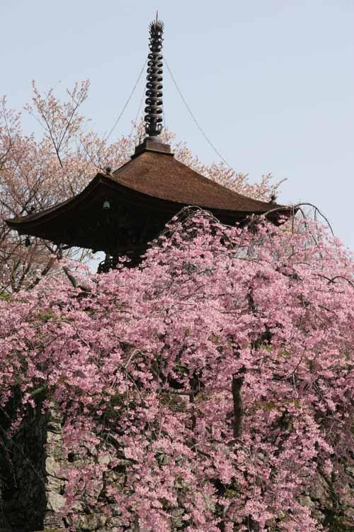 yoshimine-tera(Cherry blossom)  #Kyoto#Japan  Photography Kinichi Maeda