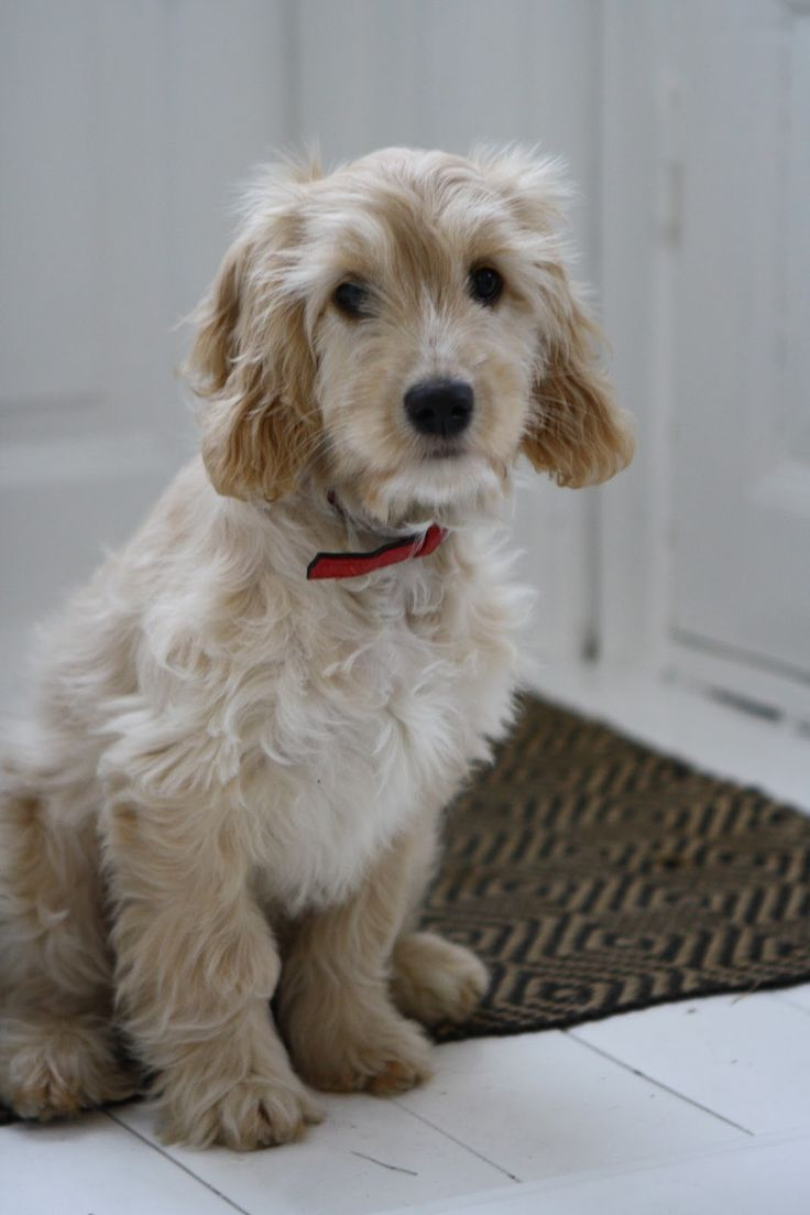 48 Best Puppy Love Images On Pinterest  Cockapoo Puppies -9476