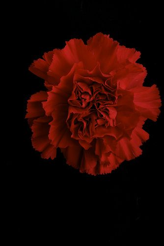 """Red Carnation's meaning is """"my heart breaks"""""""