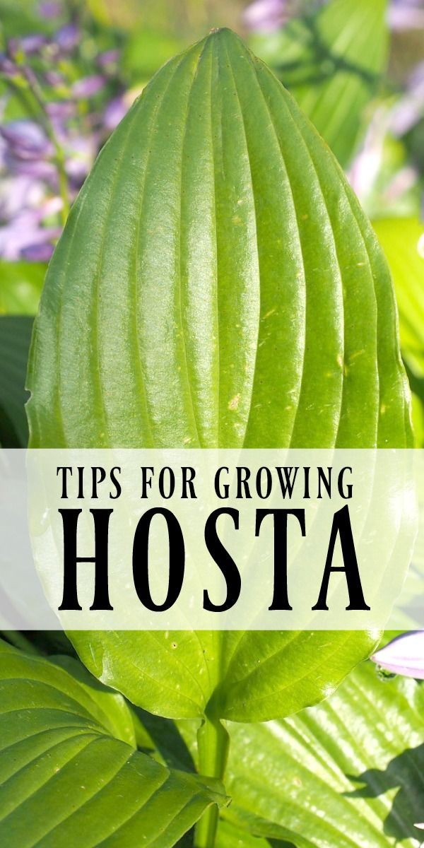 Tips for Growing Hosta | If a low maintenance garden is your goal, planting hosta is a must. Here are easy tips and advice for growing this hardy perennial. Also known as a plantain lily, hosta are perfect for shade and sun gardens alike. #Sponsored