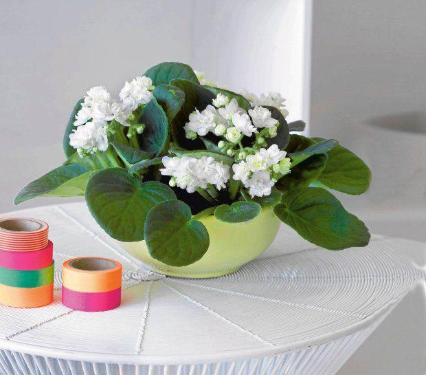 Kwiaty w domu: fiołki afrykańskie, dobre na chandrę
