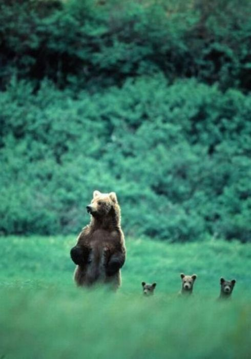 Mama bear and her babies