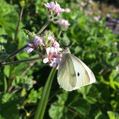 Always In Sydney: Butterfly On Flowers