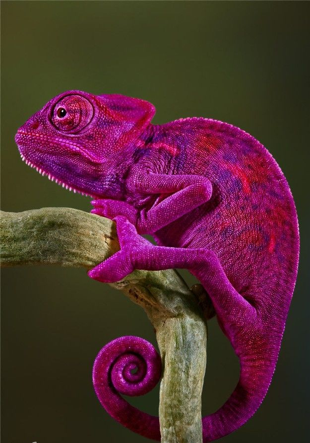 The color is amazing, Fuchsia/Magenta on a Lizard/Chameleon found in the world of Animals.  @