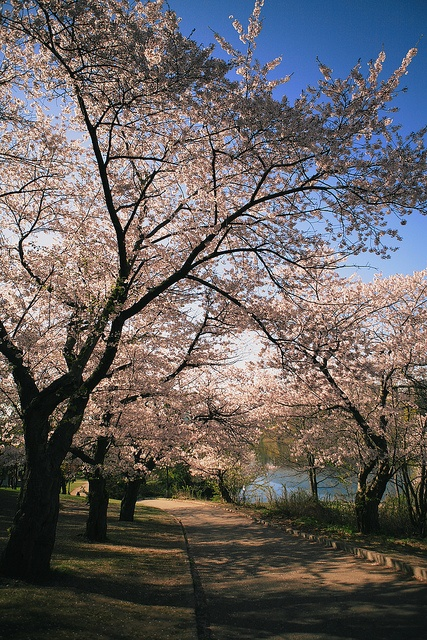 Cherry blossoms, High Park, Toronto, Canada. Love High Park, spent many Sundays with the family there, playing ball, frisbee etc
