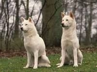Le Kishu Inu est un chien à la fois éveillé, énergique, docile et calme, même en action de chasse. Endurant et résistant, il est employé pour chasser le sanglier et le cerf. Mais le Kishu Inu est également très apprécié en tant que chien de compagnie. Attentif, fidèle, loyal et très attaché à son maître, il est agréable à vivre et à côtoyer