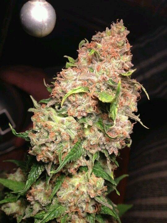 Grapefruit kush -- had it exotic . http://spliffseeds.nl/blue-medi-kush-female-cannabis-seeds