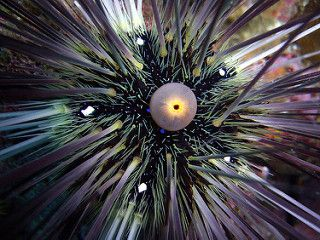 Ko Lipe Diving - Long-spined sea urchin (Diadema sp.) - Koh Lipe, Tarutao National Marine Park, Thailand | by Ko Lipe Diving
