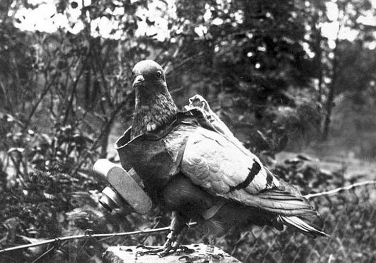 Le plus grand rôle des pigeons durant la guerre a été la communication. Ils représentaient à l'époque un moyen moderne, surtout entre les tranchées et l'artillerie. Un pigeon adulte peu…