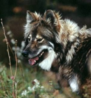 Native American Indian Dog!!! :) Hypoallergenic too!!! :D