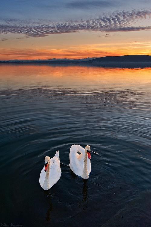 Swans at Mavrochori, Kastoria, Greece  By Nick-K on Flickr.