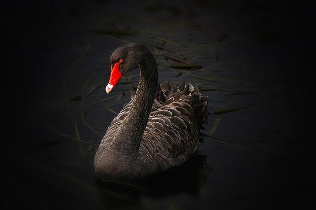 beautiful black swan