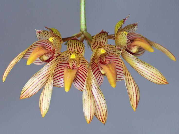 ケレンステイニア イオノプテラ  聞きなれない属名と種名です。昨年中藤洋蘭園さんから購入しました。 自生地はエクアドル・ペルーの標高1000~200...