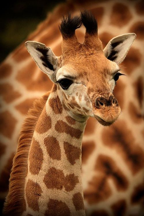Giraffes just have that face.. and those eyes!
