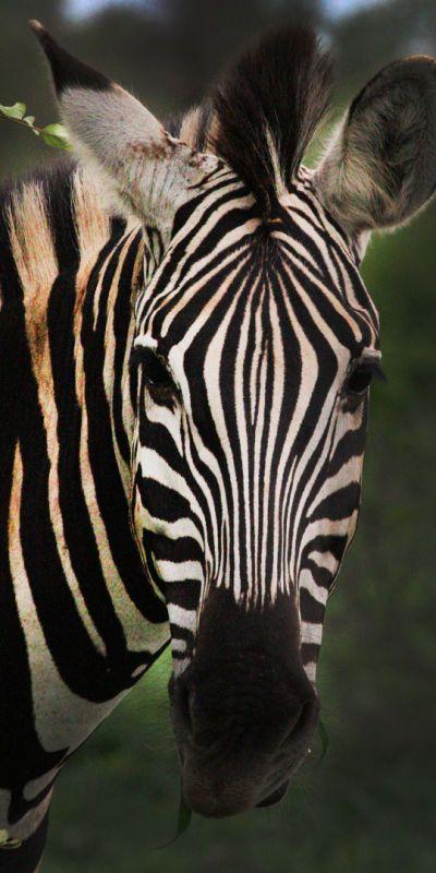 Africa Safari - Zebra