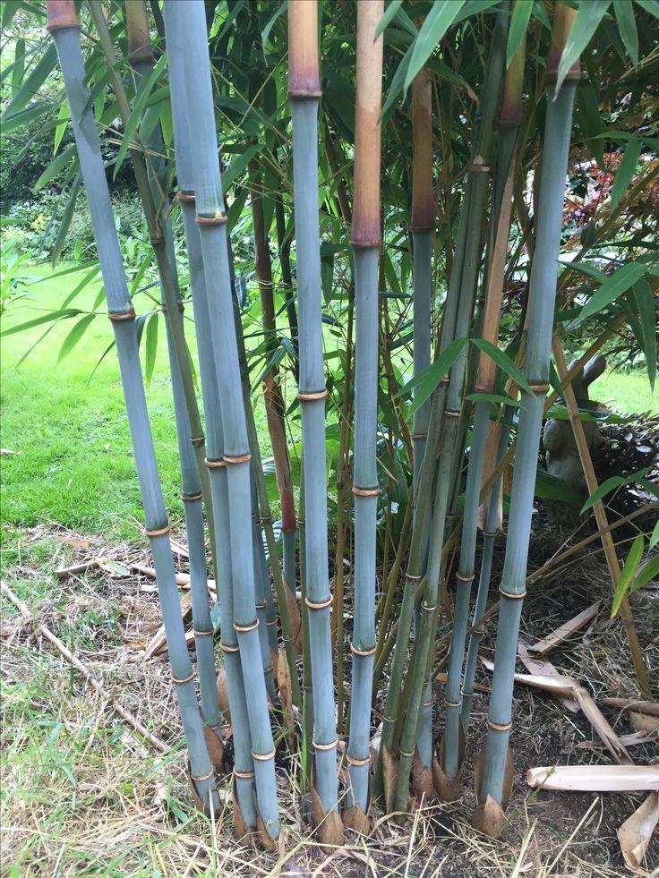 borinda papyrifera blue bamboo