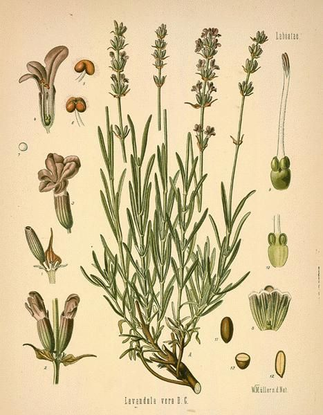 lavender --  Lavender is reported to aid with:  Acne, allergies, anxiety, asthma, athlete's foot, bruises, burns, chicken pox, colic, cuts, cystitis, depression, dermatitis, earache, flatulence, headache, hypertension, insect bites, insect repellent, itching, labour pains, migraine, oily skin, rheumatism, scabies, scars, sores, sprains, strains, stress, stretch marks, vertigo & whooping cough. This is one of the very few oils you can use undiluted. Also good to add to bath water, baby oil…