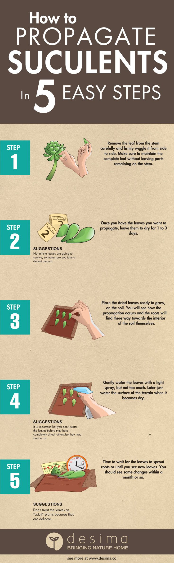 How to Propagate Succulents in 5 Easy Steps Remember if you use this infographic on your website, you must have a link back to this page and our home page www.desima.co Check out our recommended succulent planters. How about you, have you tried this, what was the result?  Feat