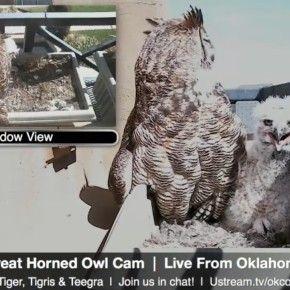 Una webcam puntata sul nido di una coppia di gufi della Virginia(Bubo virginianus) che ha scelto di vivere nella fioriera in un balcone privato al secondo pia