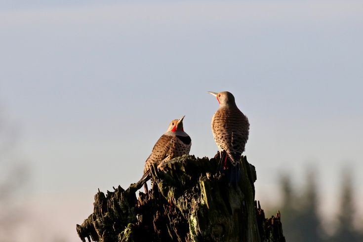 Northern Flickers on a piling in the Fraser River. Click image to enlarge.