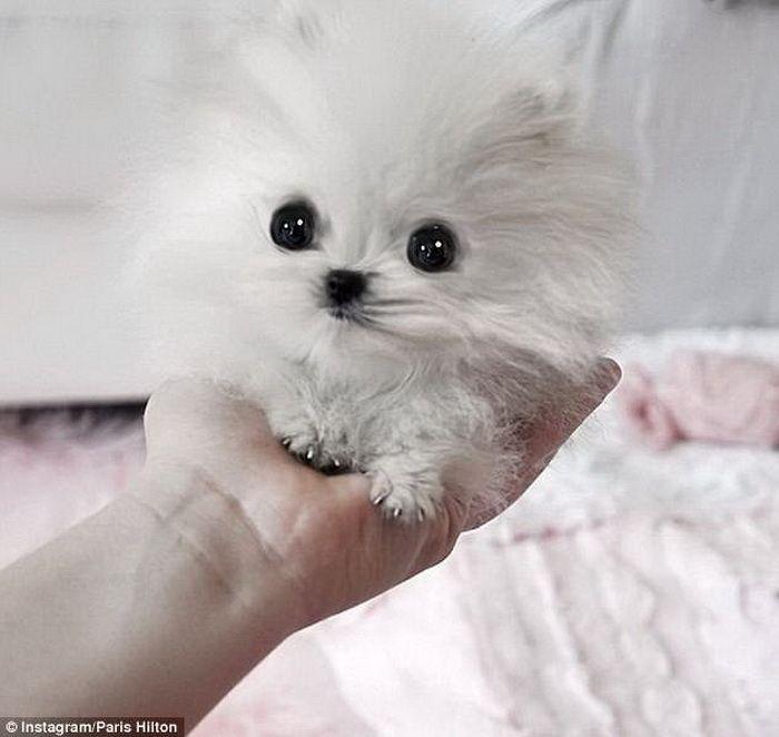 Самые маленькие собаки в мире - море милоты!
