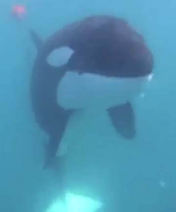 Great story (and vid) about a diver freeing an orca tangled in a crab pot line. http://www.stuff.co.nz/environment/6381508/Diver-frees-entangled-orca