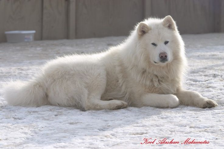 All White Alaskan Malamute | Glacier is an all-white Very Large GIANT long-furred wooly AKC ...