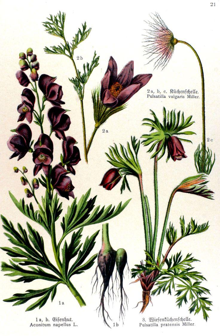 img/gravures anciennes de fleurs/gravure couleur ancienne de fleur - Aconitum napellus; Pulsatilla vulgaris; Pulsatilla pratensis.jpg