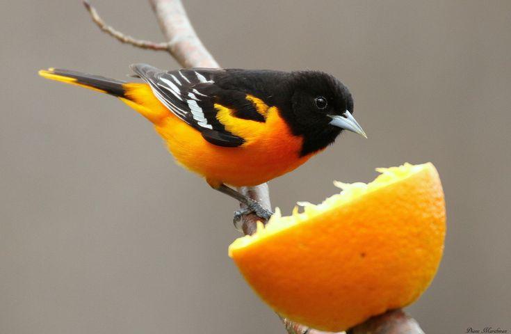 Orange All Around - FeederWatch