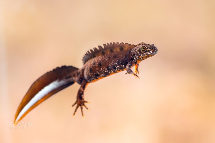 Take my hand - Male great crested newt (Triturus cristatus)